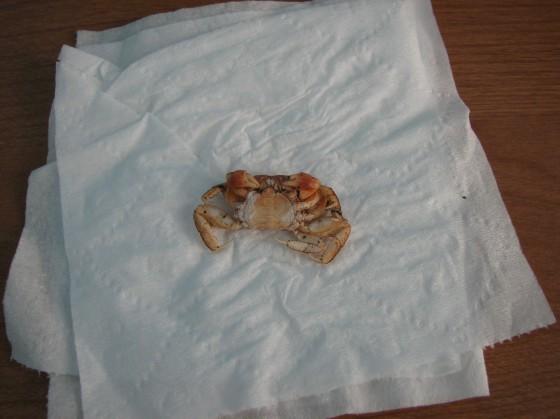 Crab Shell Bottom View